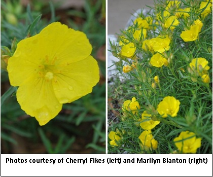 Collin county chapter npsot for Best low growing flowering perennials